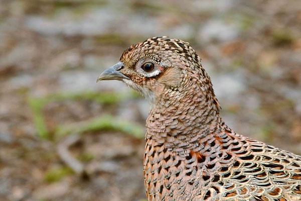 Jagdfasan (Phasianus colchicus) an der Vogelkoje - Henne