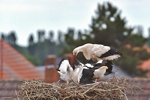Fütterung der Weißstorchenbrut in Rühstädt