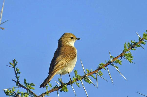 """Der Marico-Schnäpper (Bradornis mariquensis) wird im Englischen """"Marico Flycatcher """" genannt."""