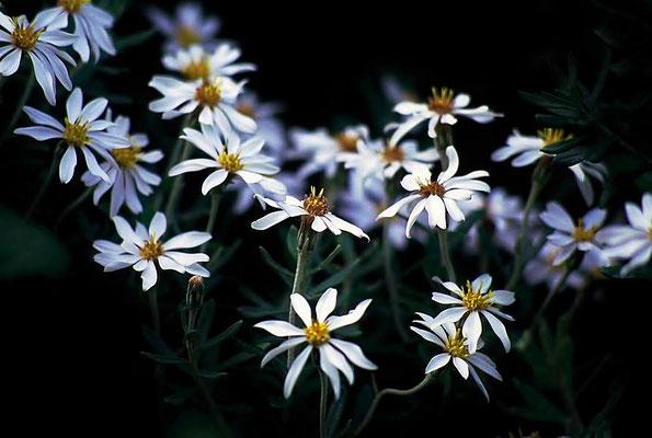 Blühende Pflanze im Feuerland Nationalpark.