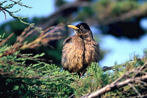 Die Falklanddrossel (Turdus falcklandii falcklandii) ist ein Singvogel aus der Familie der Drosseln (Turdidae) und der Gattung der Echten Drosseln.