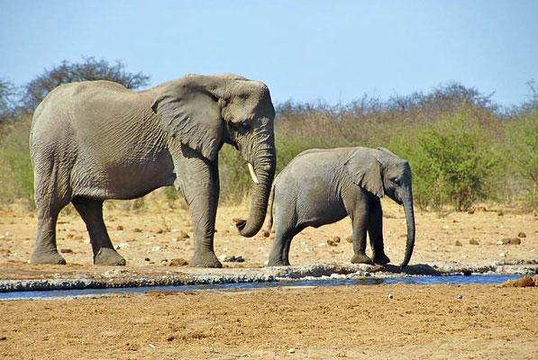 Afrikanische Elefanten (Loxodonta africana) an der Tränke, Kuh mit Kalb.