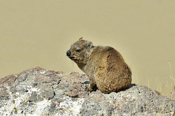 Klippschliefer (Procavia capensis), die Familie der Schliefer ist mit den Elefanten und den Seekühen verwandt.