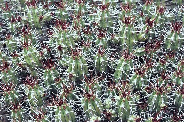 Igel-Euphorbie (Euphorbia echinus), ein Wolfsmilchgewächs.