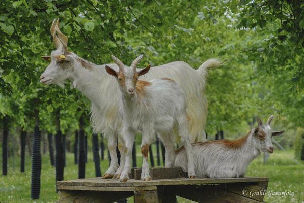 """Girgentana-Ziege (Capra aegagrus f. hircus) mit Lämmern. Wird scherzhaft """"Mafia-Ziege"""" genannt."""