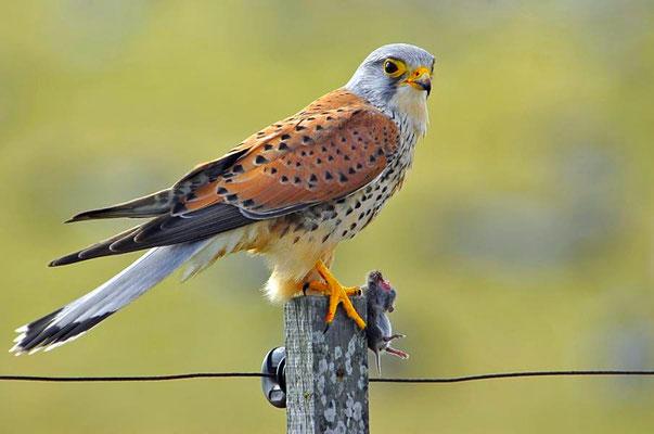 Turmfalke (Falco tinnunculus) beim Fressen einer Maus - Terzel