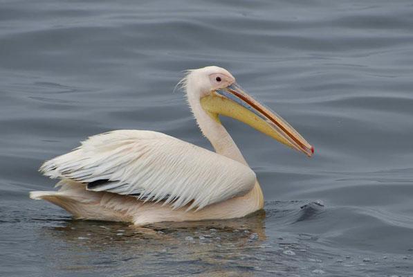Rosapelikane (Pelecanus onocrotalus) gehören zur Ordnung der Ruderfüßer und dort zur Familie der Pelikane.