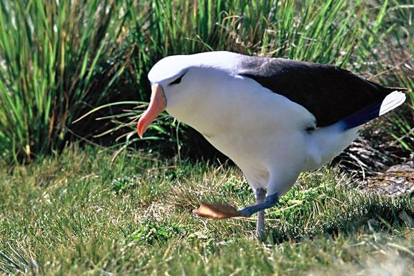 Schwarzbrauenalbatros (Thalassarche melanophris), seit 2014 sorgt ein Einzelvogel für Aufsehen, der regelmäßig im Frühjahr und Sommer u. a. auf Helgoland und Sylt gesichtet wird.