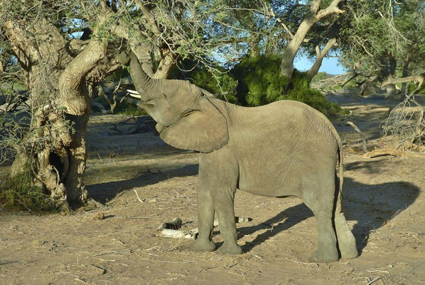 """ Wüstenelefant "" (Loxodonta africana africana)"