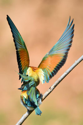 Bienenfresser (Merops apiaster) bei der Paarung