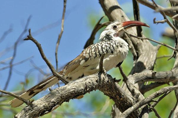 Rotschnabeltoko (Tockus erythrorhynchus damarensis)