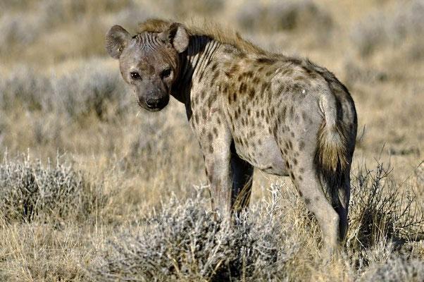 Die Tüpfelhyäne (Crocuta crocuta) ist die größte Hyänenart und durch ihr namensgebendes geflecktes Fell gekennzeichnet