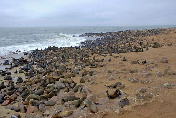 Südafrikanische Seebären (Arctocephalus pusillus) gründen Kolonien an den Atlantikküsten Südafrikas und Namibias (z. B. am Kreuzkap).