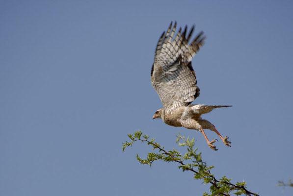 Großer Singhabicht (Melierax canorus) kommt im offenen trockenen Gelände im südlichen Afrika vor.