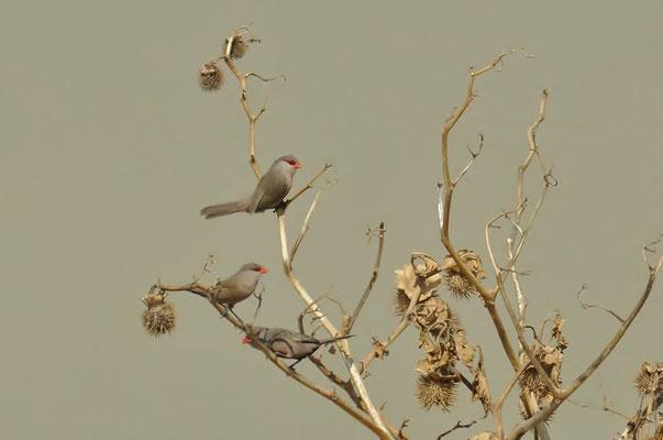 Der Wellenastrild (Estrilda astrild) ist ein Singvogel aus der Familie der Prachtfinken.