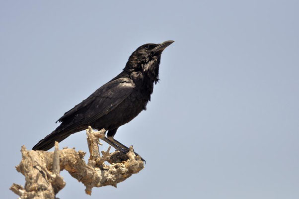 Die Kapkrähe (Corvus capensis) zählt innerhalb der Familie der Rabenvögel (Corvidae) zur Gattung der Raben und Krähen (Corvus).