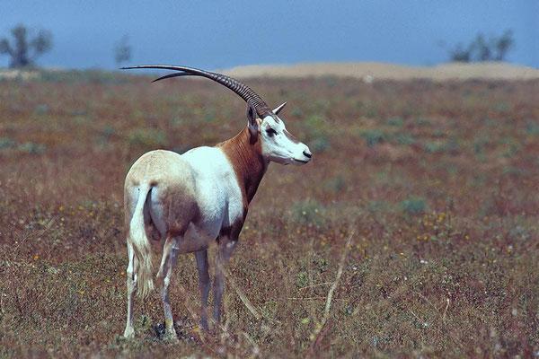 Säbelantilope (Oryx dammah) im Souss Massa Nationalpark in der Nähe von Agadir.