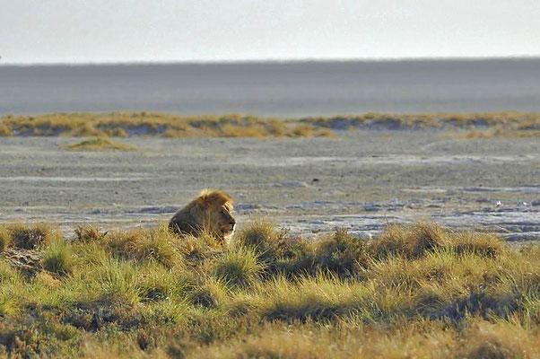 Der Kalahari-Löwe (Panthera leo vernayi) ist eine Unterart des Löwen und gehört innerhalb der Familie der Katzen (Felidae) zur Gattung Panthera.