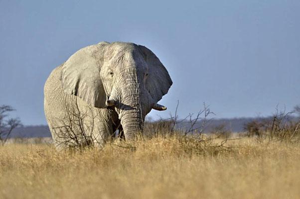 Afrikanischer Elefantenbulle (Loxodonta africana), ausgewachsene Bullen sind Einzelgänger.