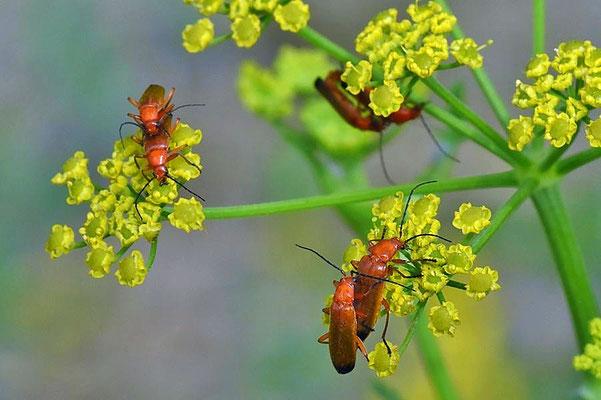 Rotgelber Weichkäfer (Rhagonycha fulva)