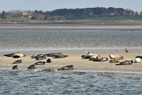 Seehunde (Phoca vitulina) auf einer Sandbank vor Föhr