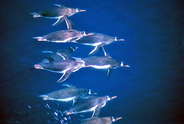 Eselspinguine (Pygoscelis papua) fliegen unter Wasser.