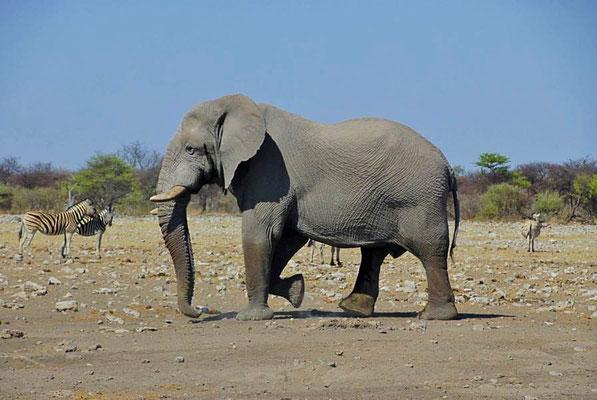 Afrikanischer Elefantenbulle (Loxodonta africana) auf dem Weg zum Wasserloch.