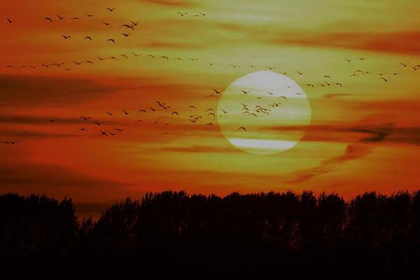Herbstrast der Kraniche im Rhin- und Havelluch - Sonnenuntergang bei Linum