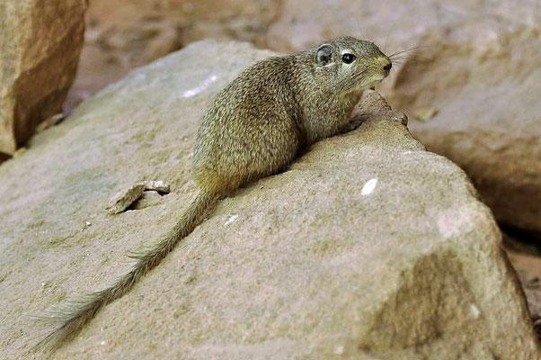 Afrikanische Felsenratten (Petromus typicus) bewohnen trockene, felsige Gebiete im südwestlichen Afrika.