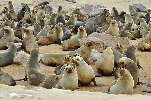 Südafrikanische Seebären (Arctocephalus pusillus) werden auch als Zwergseebären bezeichnet.