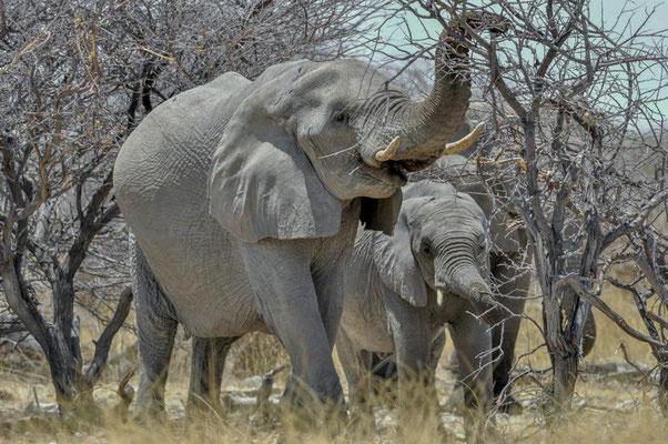 Afrikanische Elefanten (Loxodonta africana), Kühe mit Kalb. Sie verbringen 16 bis 20 Stunden mit Fressen. Am Tag frisst ein Elefant etwa 200 bis 300 kg.