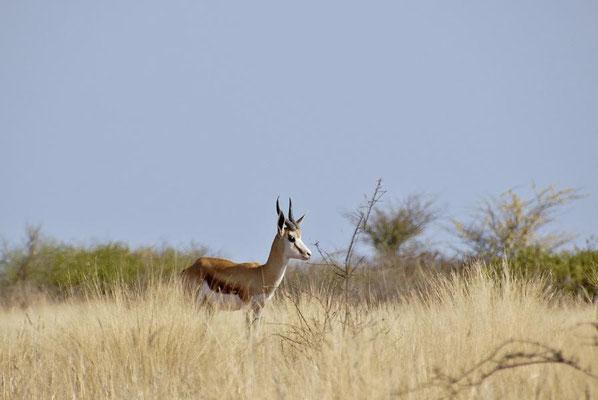 Der erste Springbock (Antidorcas marsupialis), ihm sollten noch tausende folgen.