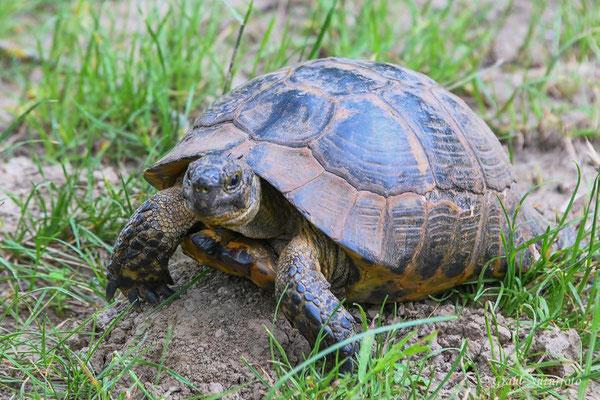 Maurische Landschildkröte (Testudo graeca) bei Babadag.