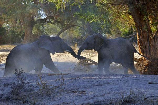 """"""" Wüstenelefanten """" (Loxodonta africana africana), Touren zu den Wüstenelefanten werden auf der Twyfelfontein Country Lodge angeboten."""