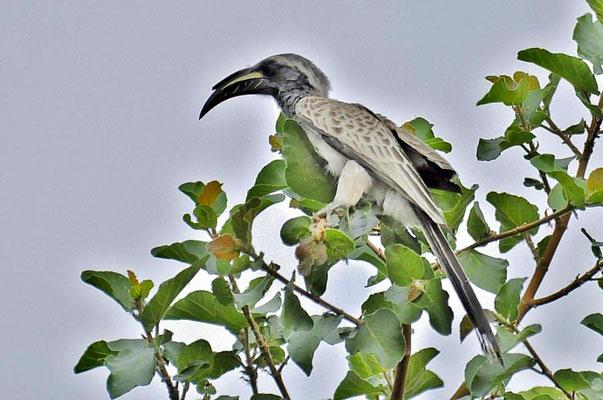 Der Grautoko (Tockus nasutus), ist eine Vogelart, die zu den Nashornvögeln (Bucerotidae) gehört und in weiten Teilen Afrikas südlich der Sahara vorkommt.