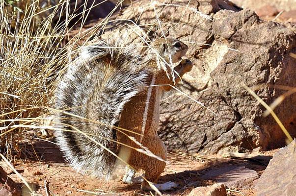 Das Kap-Borstenhörnchen (Geosciurus inauris) benutzt seinen Schwanz als Sonnenschutz.