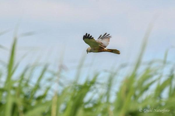 Typischer Jagdflug der Rohrweihe (Circus aeruginosus).