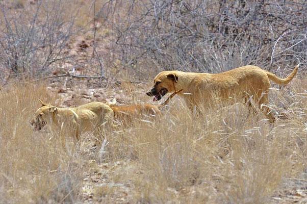 Kangal oder Anatolischer Hirtenhund (Canis lupus f. familiaris), wird als Herdenschutzhund gehalten. Hündin mit Welpen.