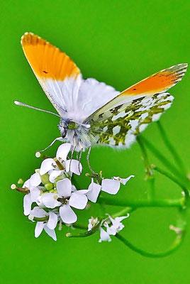 Aurorafalter (Anthocharis cardamines), nur die Männchen des Aurorafalters tragen an der Vorderflügelspitze einen großen orange-farbenen Fleck.