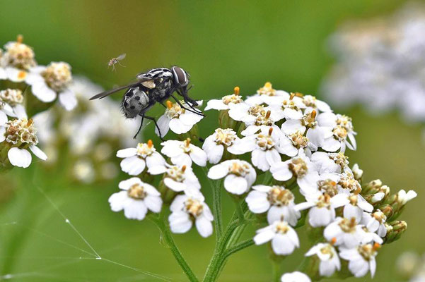Gefleckte Hausfliege (Graphomyia maculata) - weibl. Angriff durch Stechmücke