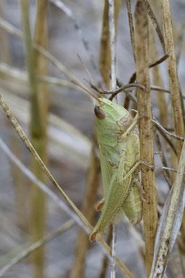 Wiesengrashüpfer (Chorthippus dorsatus)