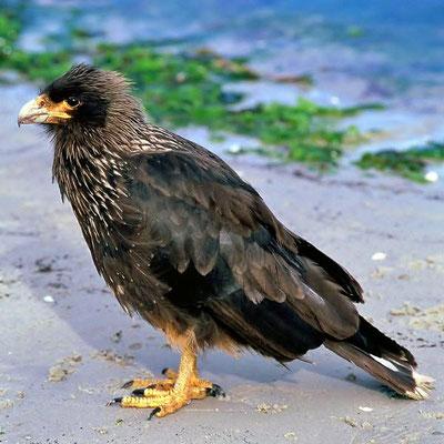 Falklandkarakara (Phalcoboenus australis), auf grund seines kleinen Verbreitungsgebiet gehört er zu den seltensten Greifvögeln der Welt.