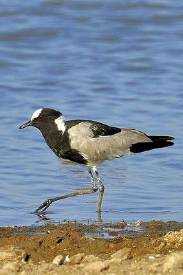 Der Waffenkiebitz (Vanellus armatus) ist aufgrund seiner auffallenden schwarz-weiß-grauen Kennzeichnung einfach zu identifizieren.