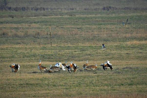 Großtrappen (Otis tarda) - Balz bei Buckow. Im Hintergrund fliegt eine Wiesenweihe (Circus pygargus).