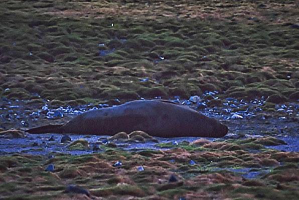 Der Südliche See-Elefant (Mirounga leonina) ist die größte Art der Robben und damit der größte Vertreter der Ordnung Raubtiere (Carnivora).