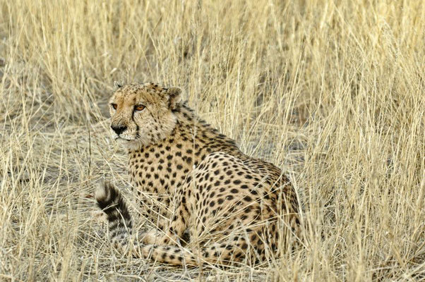 Gepard (Acinonyx jubatus) auf dem Gelände der Bagatelle Kalahari Game Ranch. (C)