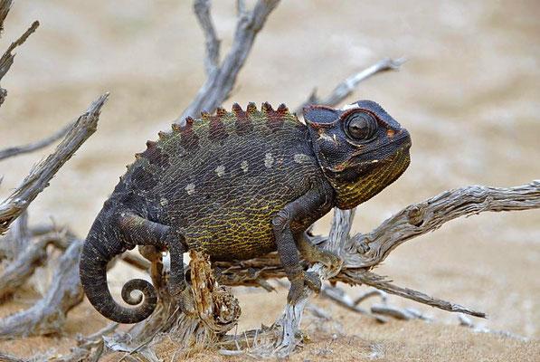 Namaqua Chamäleon (Chamaeleo namaquensis), die Körperfärbung kann links und rechts von der Wirbelsäule extrem variieren  Links: weiß, Rechts: schwarz