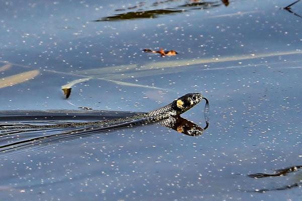 Ringelnatter (Natrix natrix) im Köppchensee