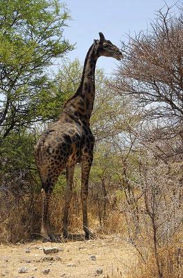 Dunkle Morphe der Angola-Giraffe (Giraffa camelopardalis angolensis).