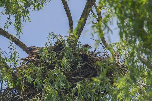 Seeadler (Haliaeetus albicilla) Horst mit 2 fast ausgewachsenen Jungtieren.
